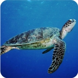 green_turtle6