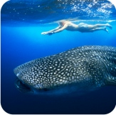 whale-shark-man-swimming