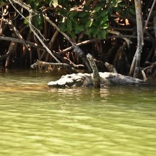 Fierce looking crocodiles