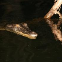 crocodile-at-night