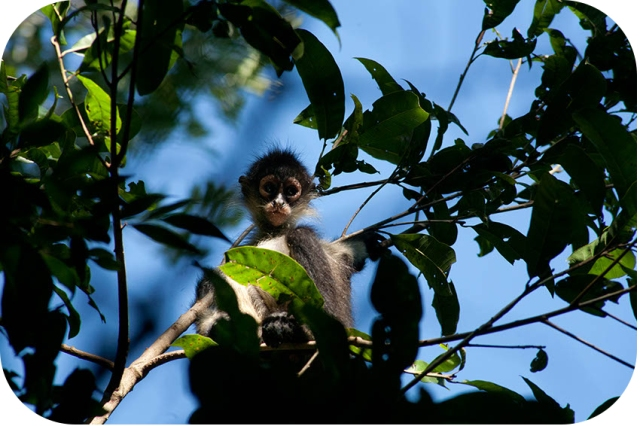 Mexico (Yucatan), Punta Laguna: Spider Monkey! Photo: Thomas Alboth