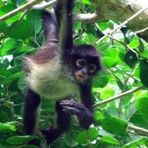 punta-laguna-spider-monkey