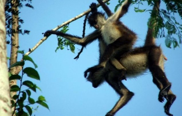 Punta_Laguna_Spider-Monkey_2