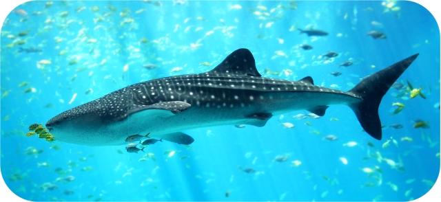 Whale_shark_Georgia_aquarium copy